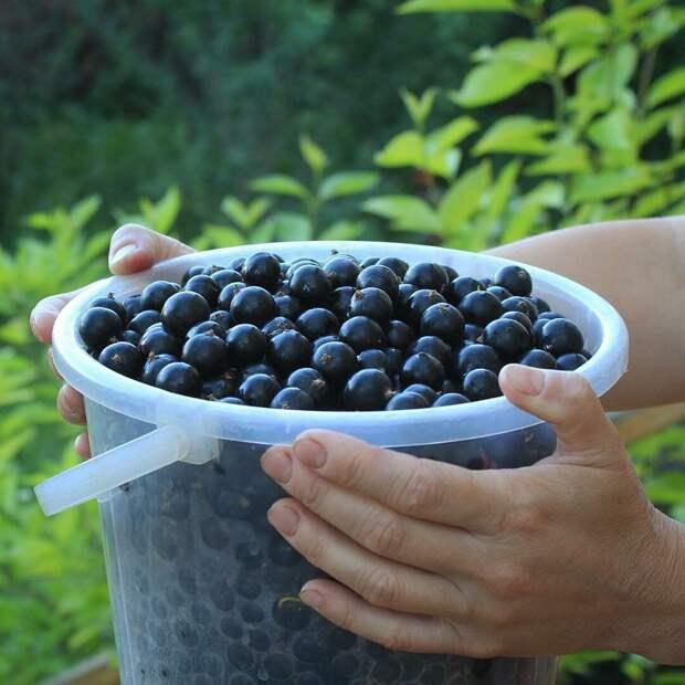 Как ухаживать за смородиной чтобы ягода была крупной, а урожай богатым?