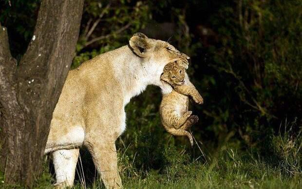 Материнская забота (12 фото)