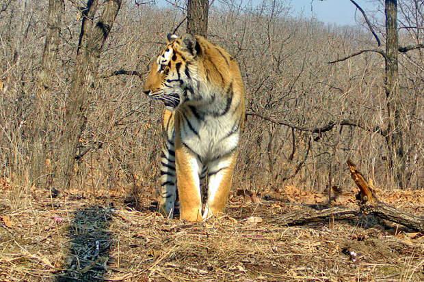 «Перекличка» тигра и оленя попала на видео