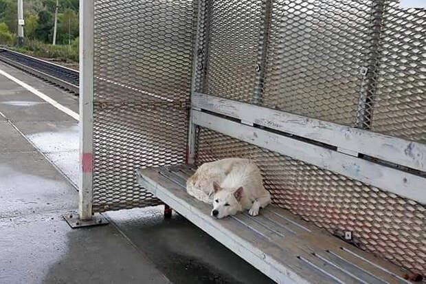В Приморье местный «Хатико» уже две недели ждёт хозяина на перроне