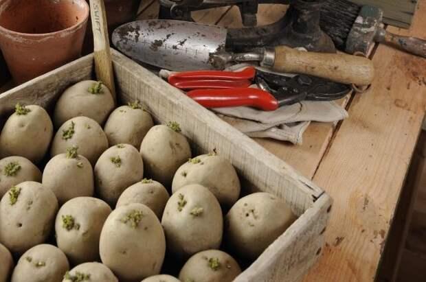 Картофель — на яровизацию. Сокращаем время от посадки до первых всходов