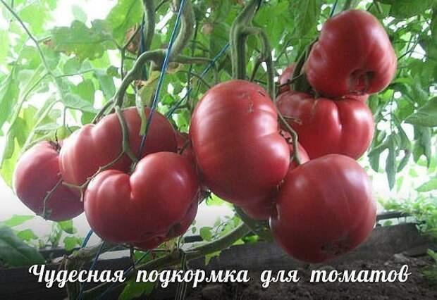 Подкармливаю свои томаты особым раствором