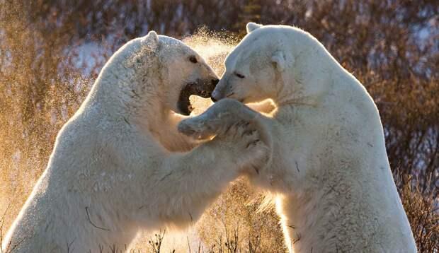 Белые медведи дерутся фото