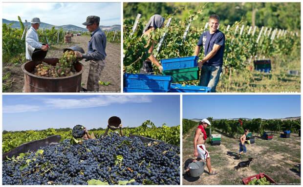 Сбор винограда. Скорее всего это технические сорта, на сортовые плантации вход ограничен. заработать, интересное, крым, отдых