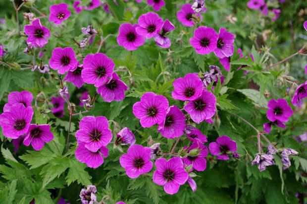 Герань мелкотычинковая Bressingham Flair. Фото с сайта www.flickr.com