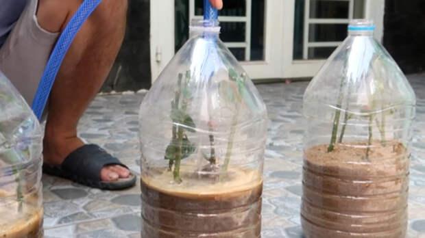 Эффективное укоренение розы: насыпьте песок в бутылку