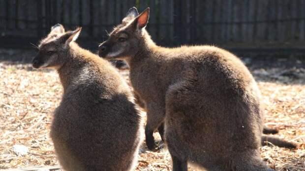 Детеныш кенгуру родился в Белгородском зоопарке