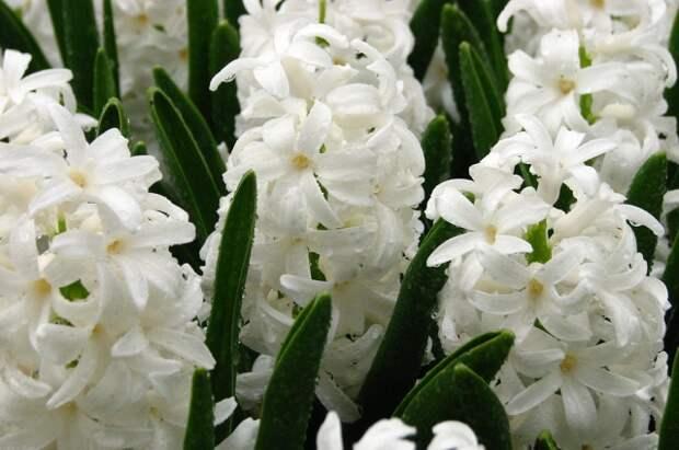 Гиацинты прекрасно цветут осенью.