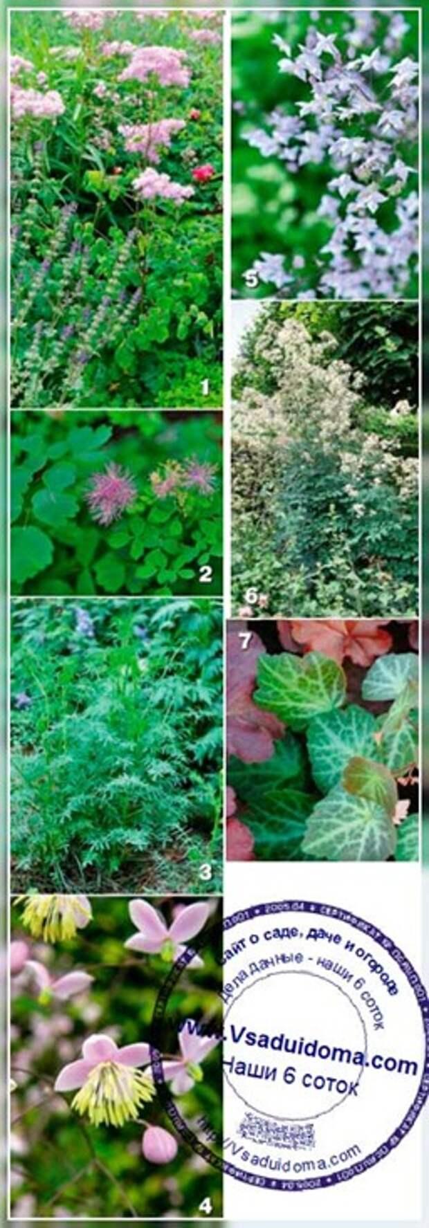 Выращивание василистника — сорта и виды, размножение