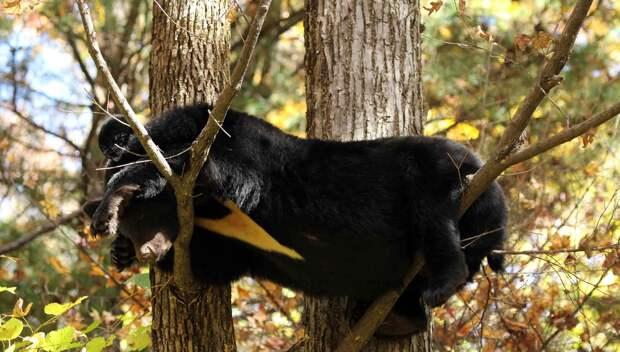 Гималайский медведь отдыхает на деревьях