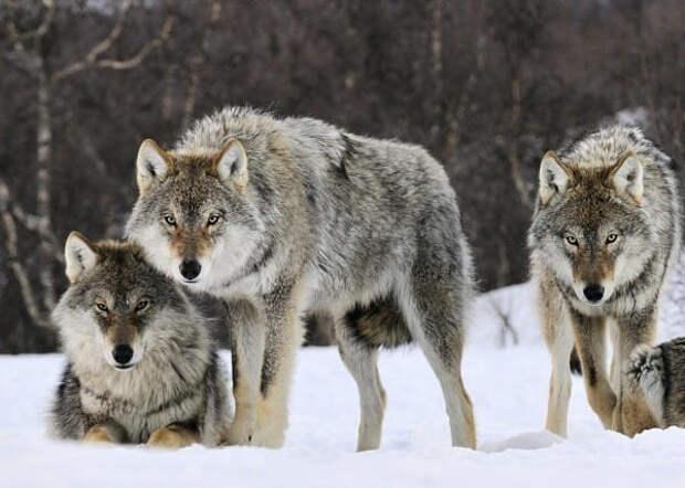 Удивительная история 14 волков, которые изменили кусочек мира