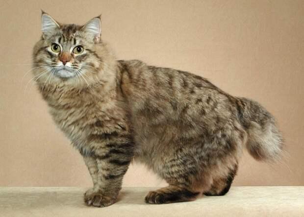Крупная порода домашних кошек, выведенная на основе диких североамериканских. | Фото: playserver.net
