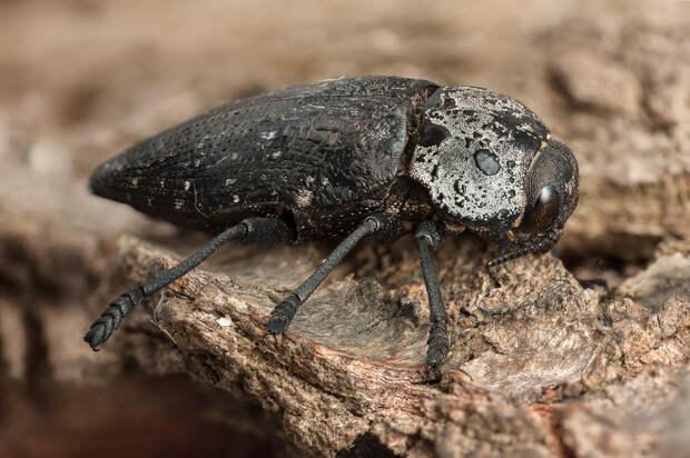 Коварный жук. Чем опасна чёрная златка и как с ней бороться