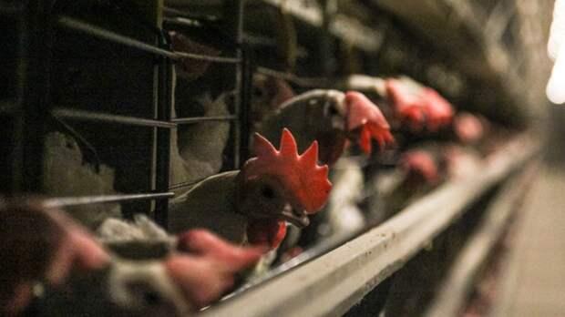 Производители мяса курицы начали снижать оптовые цены на продукцию в России