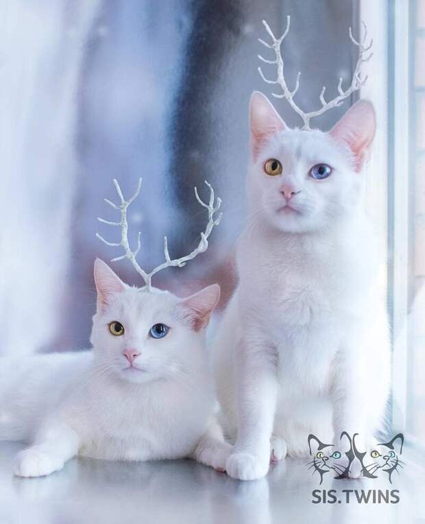 Необычный цвет глаз и белая шёрстка — это щедрый подарок природы этим обычным дворовым кошкам Абисс, Айрис, глаза, кошка, красота, окрас