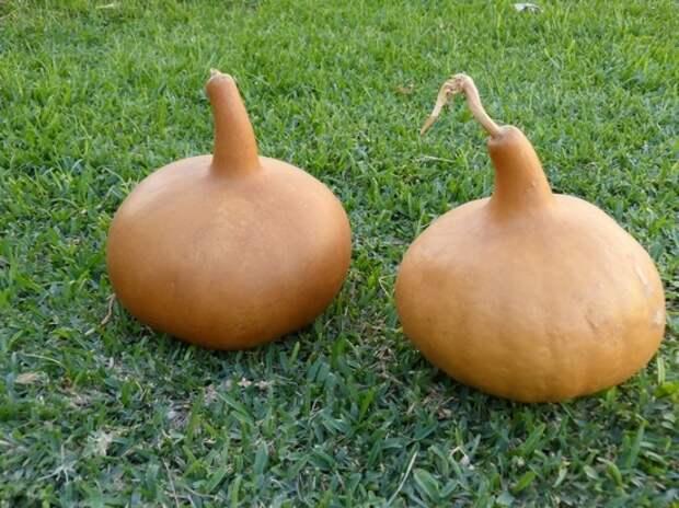 Как вырастить лагенарию и смастерить из неё кухонную утварь