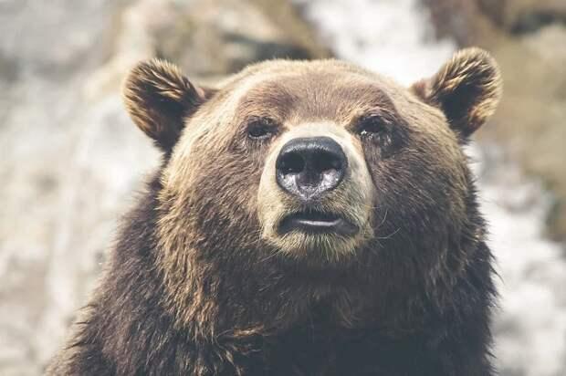 В Сочи медведи загрызли 11-летнего мальчика