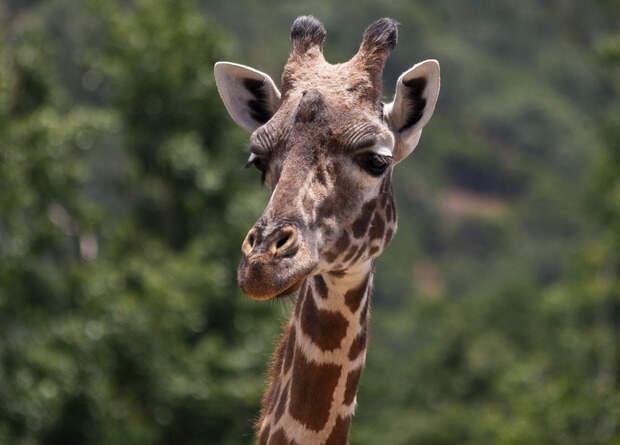 Оссикон жирафа притянул молнию