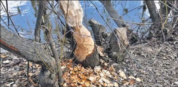 Бобры в Ростокине природе не вредят —  Департамент природопользования