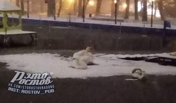 Ростовчан расстроили замерзающие нальду лебеди впарке Революции