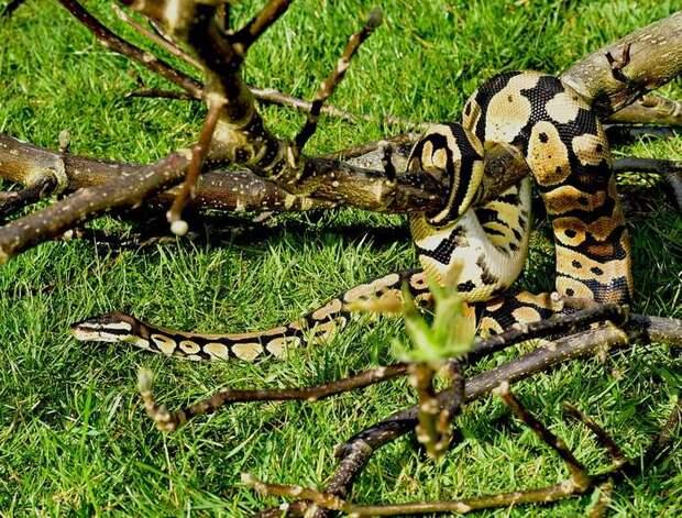 Королевский питон (Python regius), фото змеи, фотография рептилии