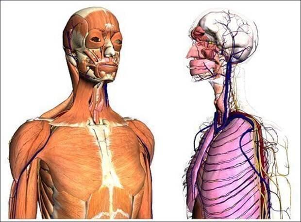 10 впечатляющих фактов о нашем теле, изображение №1