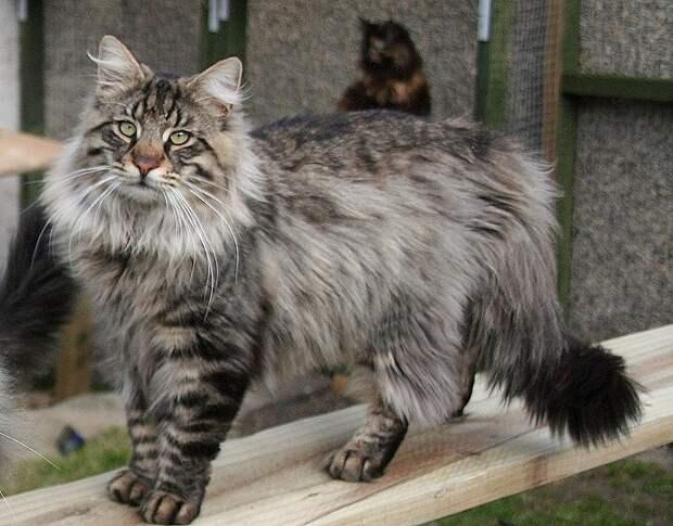 Порода домашних полудлинношёрстных кошек. | Фото: espacebuzz.com