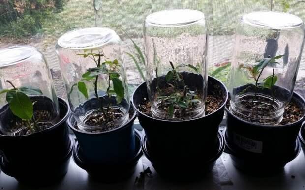 Теплички для черенков роз