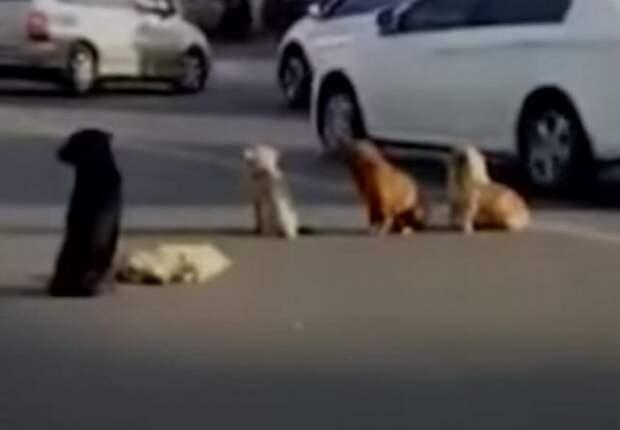 Собаки заблокировали дорогу, чтобы помочь своему другу, сбитому авто