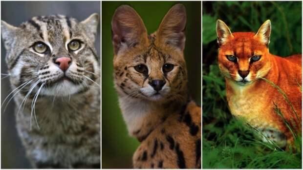 10 классных диких кошек, о которых мало кто знает.