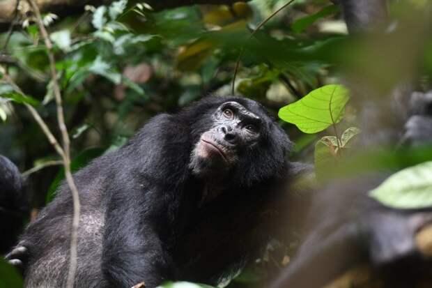 Как маменьки бонобо устраивают сексуальную жизнь своим сынкам