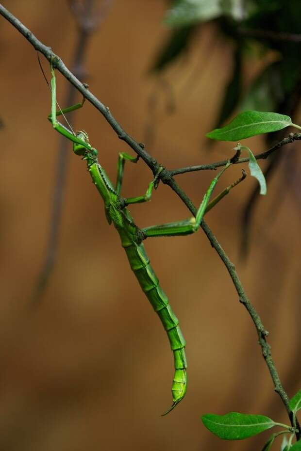За последние годы палочников все чаще стали выращивать в домашних условиях.  насекомые, палочники, привиденьевые
