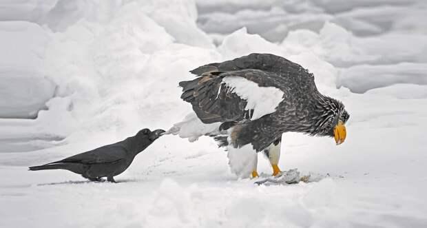 Ворона держит японского орла за хвост в Японии