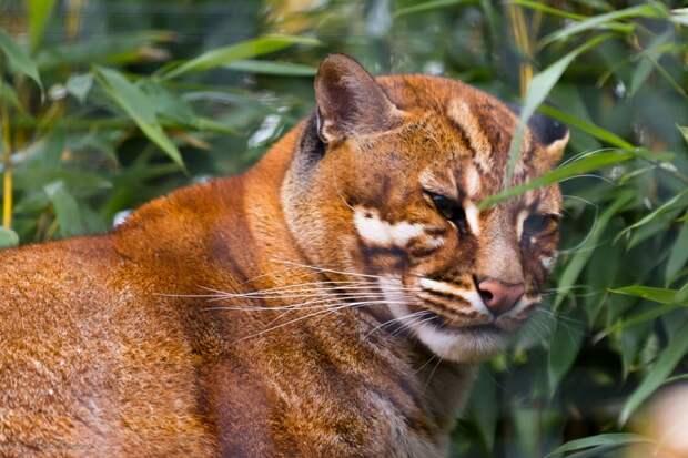 Кошка Темминка дикие кошки, животные, кошки, природа
