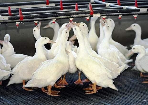 В Ростовской области тестируют комплекс по производству мяса утки, не имеющий аналогов в истории российского и советского птицеводства