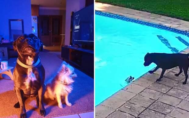 Собака спасла своего младшего брата, случайно упавшего в бассейн