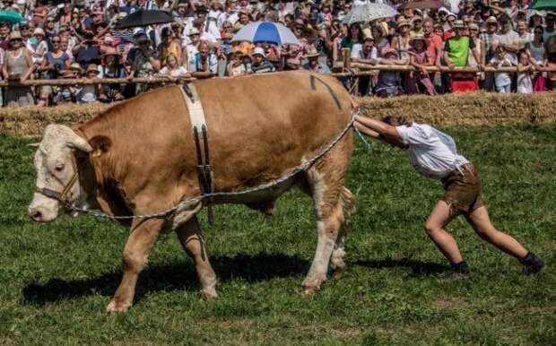 Гонка на быках в Германии
