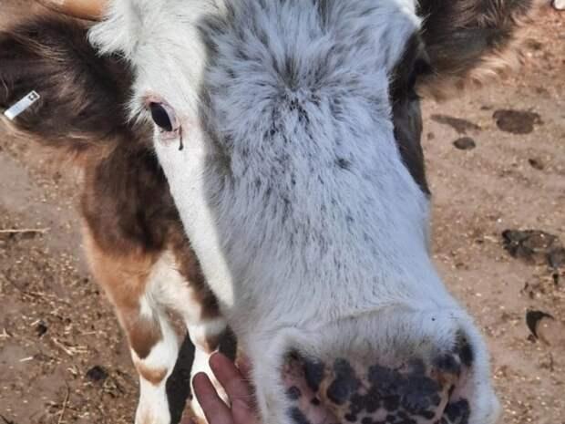 Причиной вспышки бешенства в Агинском районе стало нападение дикого животного на корову
