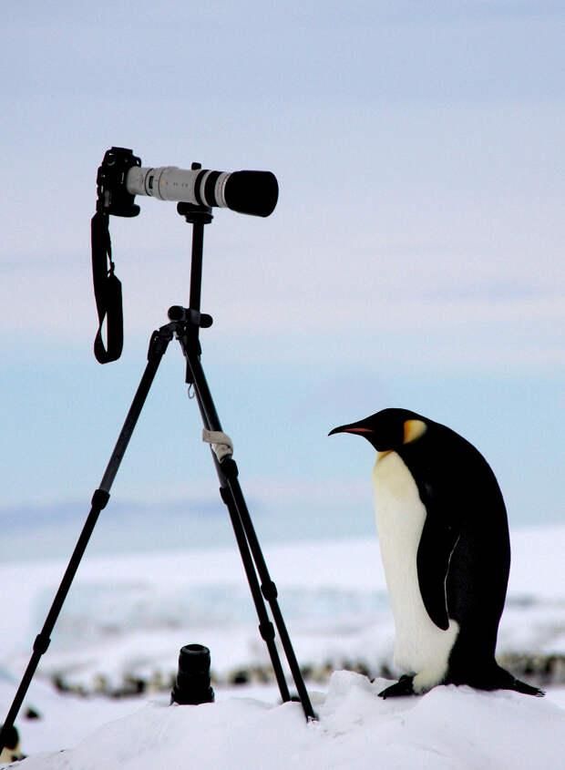 Императорский пингвин и техника