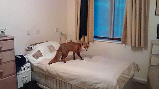 8 фото лис, которые забрели в дома к людям