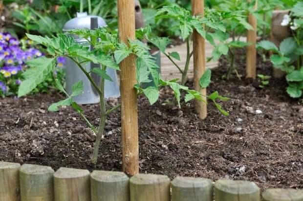 tomato seedlings and wooden sticks in garden