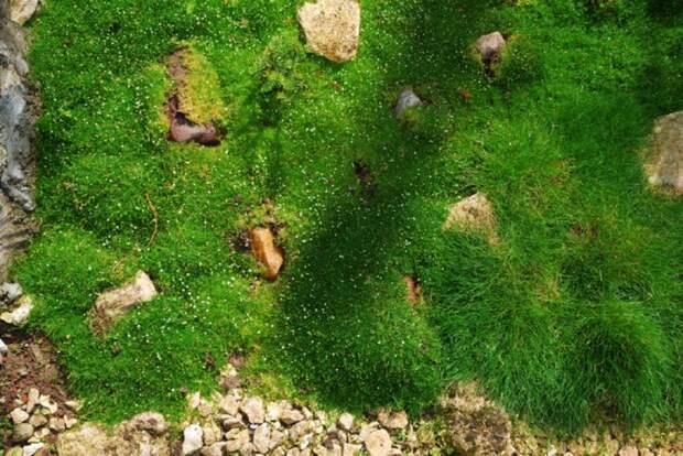 мшанку еще называют ирландским мхом