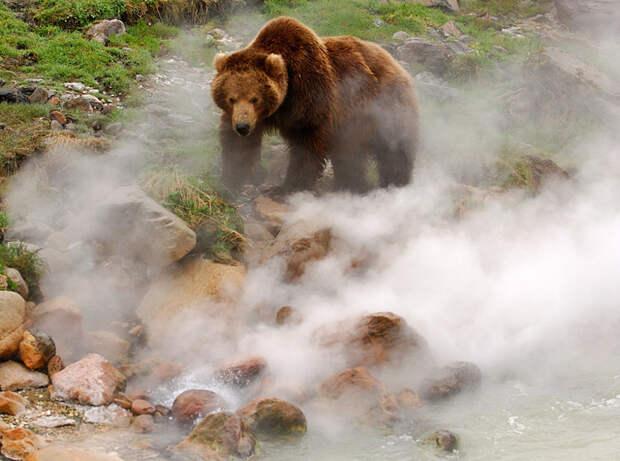 Обжигают ли медведи лапы в гейзерах? гейзер, медведь, огонь, ожог