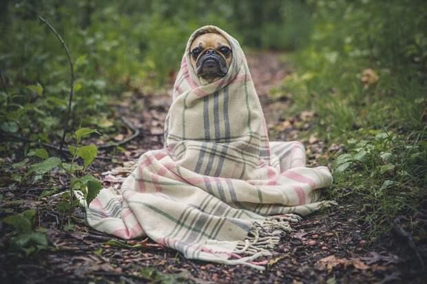 Мопс, Собака, Одеяло, Собака Лицо, Собаки