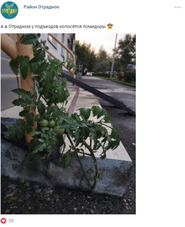 Фото дня: в Отрадном из-под асфальта выросли помидоры