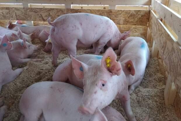Русагро планирует построить еще один свинокомплекс на Дальнем Востоке. В Китае