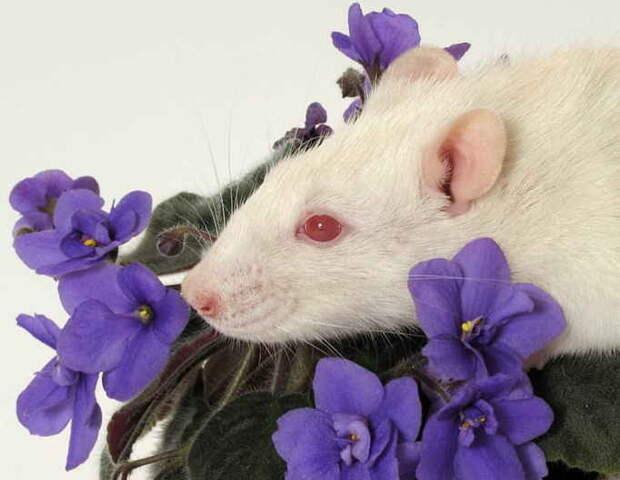 фиалка в год крысы