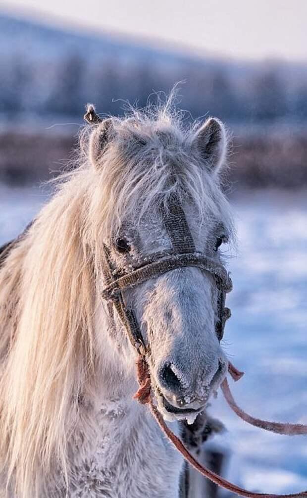 От морозов лошадей защищает подшерсток и шерсть длиной 8-15 см Порода, животные, лошадь, россия, саха, фото, якут, якутия