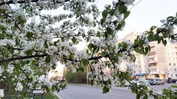 Первые яблони расцвели в Барнауле