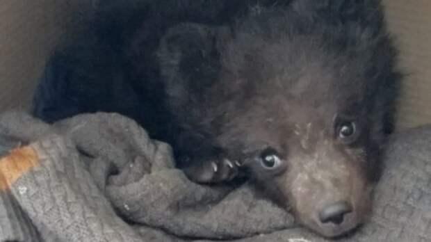 В Коми спасают осиротевшего медвежонка, вышедшего к людям